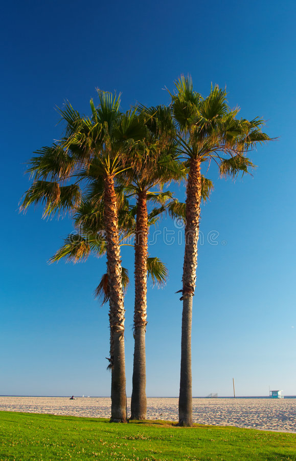Palm trees. At the beach stock images