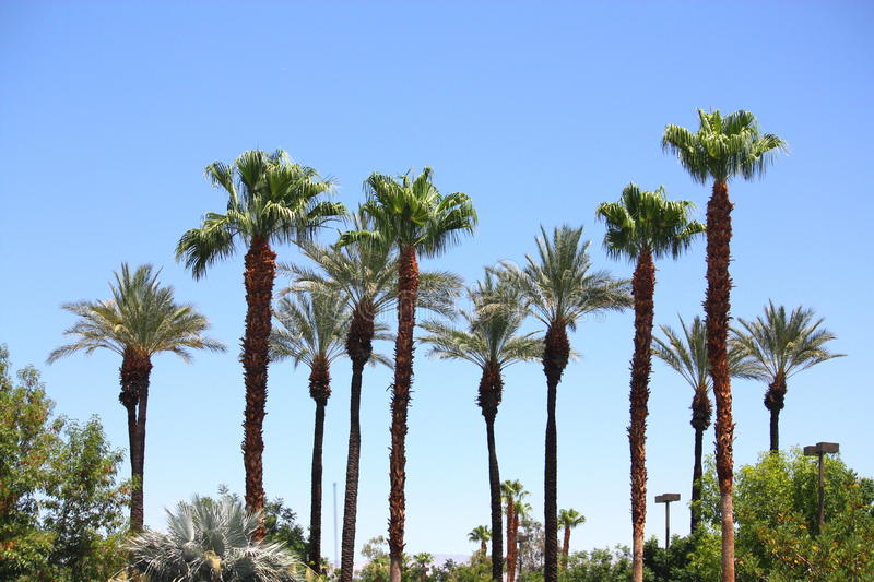 Palm Trees. On a hot summer day with blue sky stock image