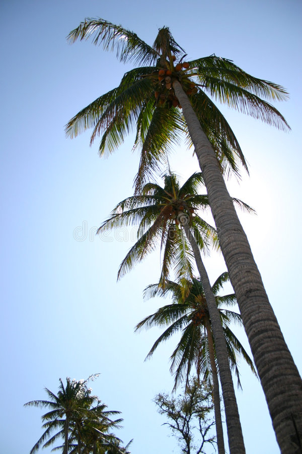 Download Palm trees stock image. Image of branches, sunshine, wood - 1513141