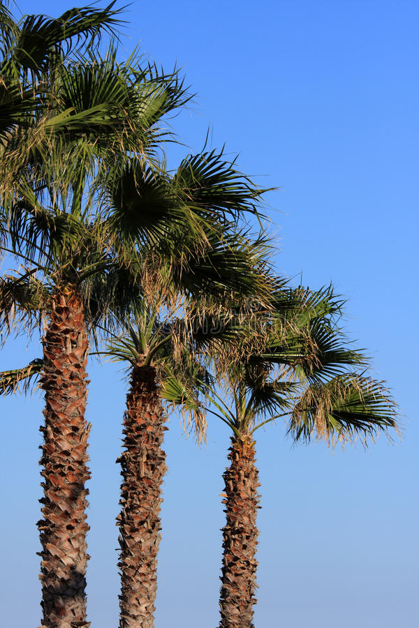 Download Palm trees stock image. Image of plant, holiday, caribbean - 24758531