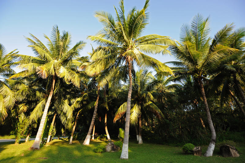 Download Palm trees stock image. Image of garden, coco, blue, green - 26566947