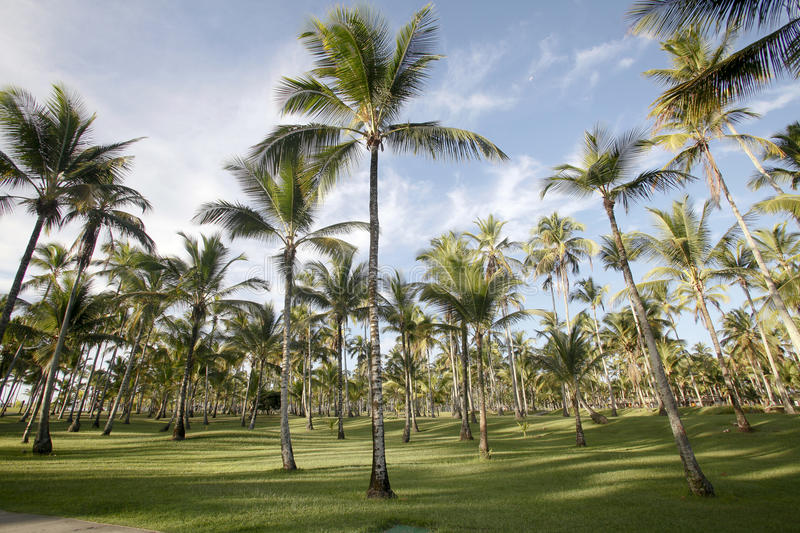 Download Palm trees stock image. Image of garden, leaf, exotic - 29512189