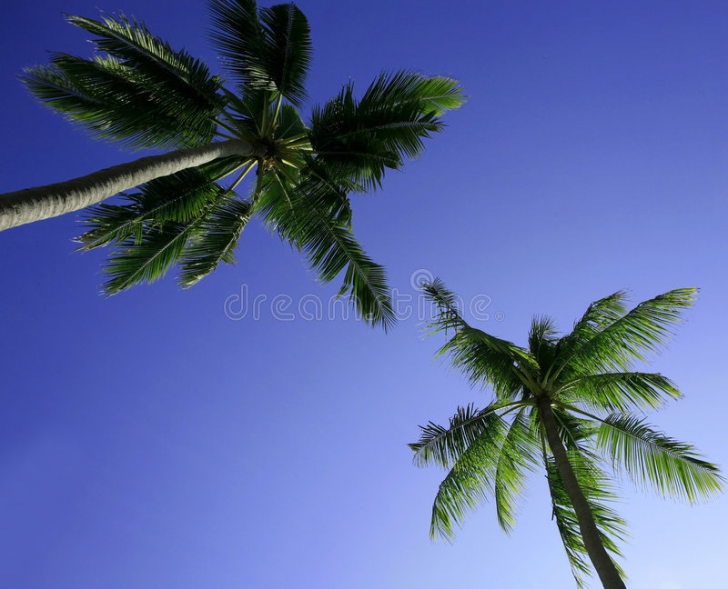 Palm trees. Two palm trees against the blue sky royalty free stock photography