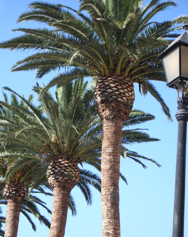 Download Palm Trees stock image. Image of trees, holidays, line - 524039
