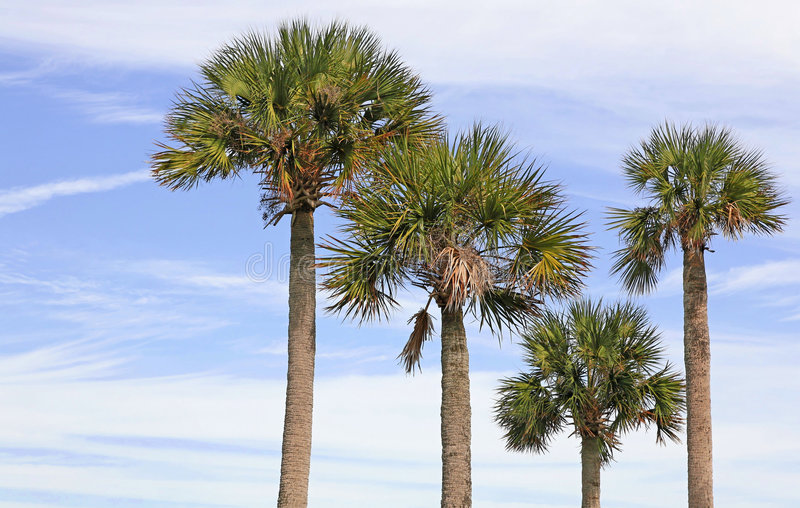 Download Palm Trees stock image. Image of palmetto, tropical, florida - 7284235