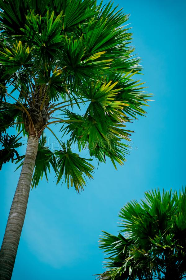 Palm trees against blue sky royalty free stock photos