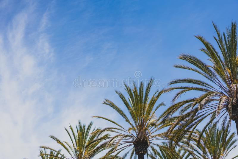 Palm trees against blue sky. Blue sky with palm trees and clouds, tropical background, san diego, CA stock photo