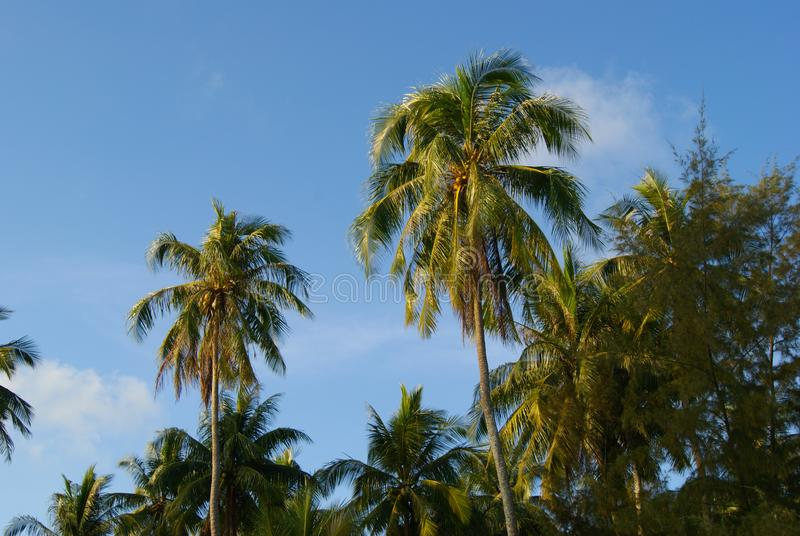 Palm trees against the blue sky. stock photo