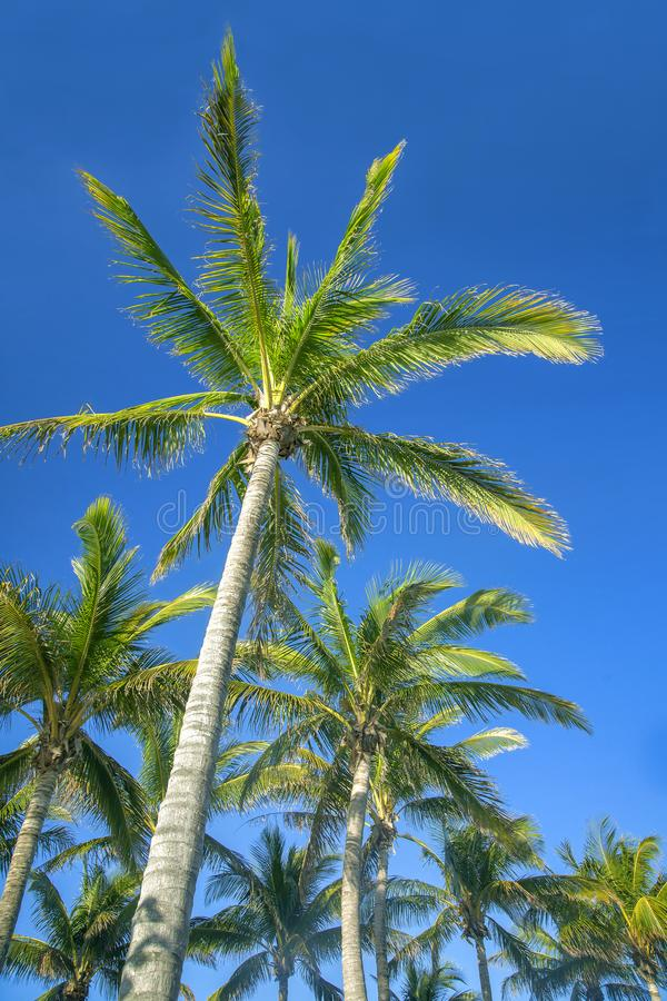 Palm trees against blue sky royalty free stock photography