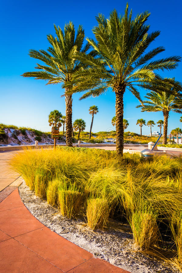 Palm trees along a path in Clearwater Beach, Florida. Palm trees along a path in Clearwater Beach, Florida royalty free stock image