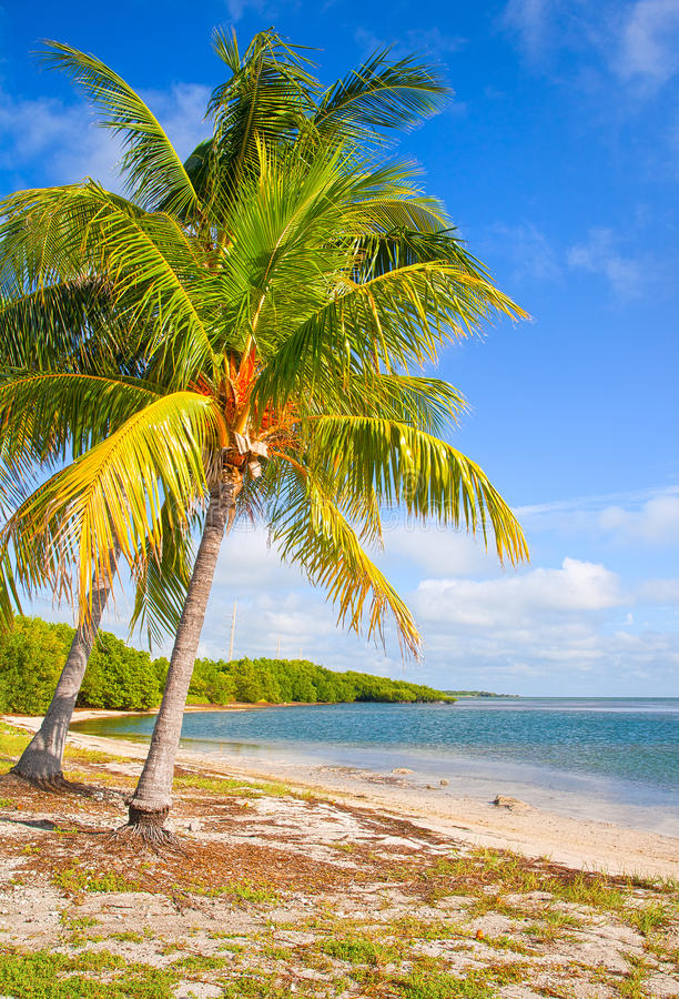 Palm Trees On The Beach In FLorida Keys Near Miami Stock