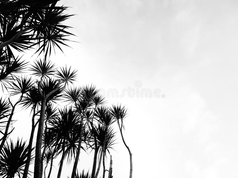 Palm Trees. Black and white high contrast photograph of palm trees stock photography