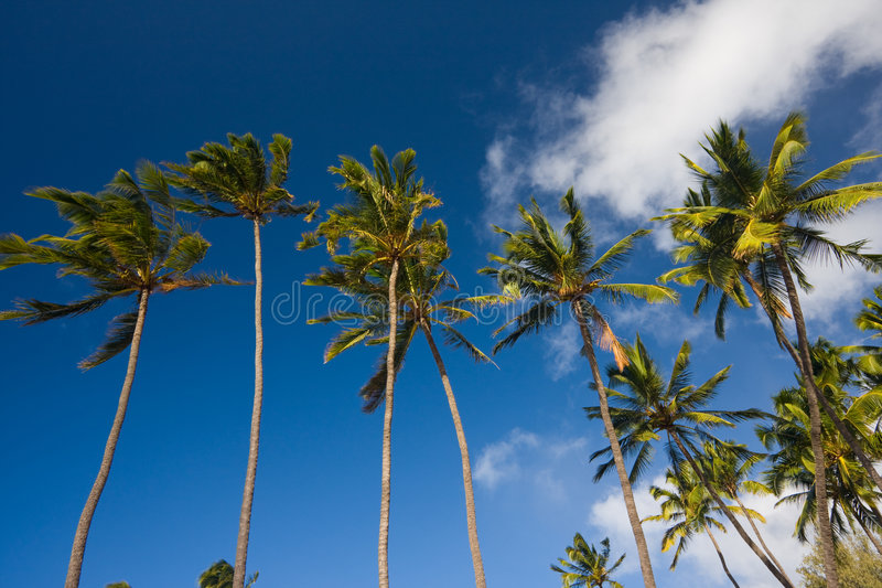 Palm Trees on Blue Sky. Tropical Palm Trees on Blue Sky royalty free stock images