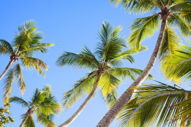 Palm trees on blue sky background, palm branches on sky background, silhouettes of palm trees, crowns palms trees royalty free stock image