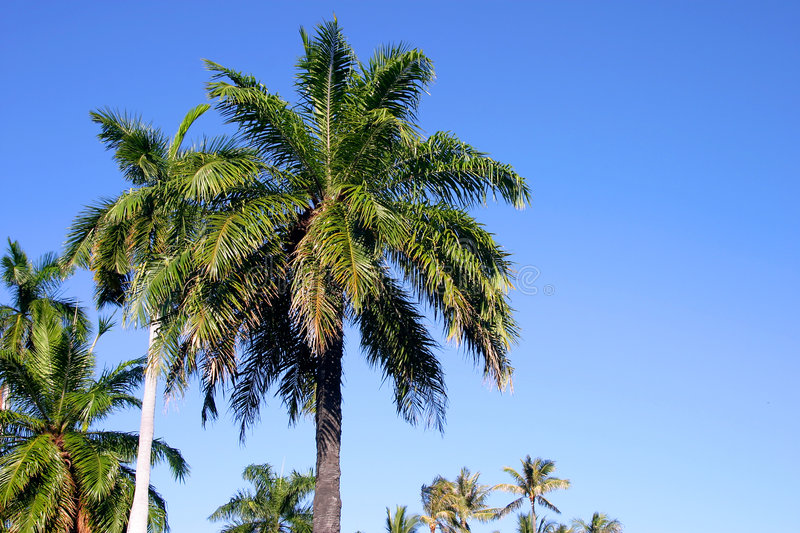 Download Palm Trees And Blue Sky In Hawaii Stock Photo - Image of nature, photographs: 1672