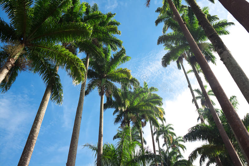 Download Palm trees stock image. Image of stem, sunny, angle, tall - 30014201