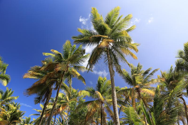 Palm trees on blue sky and white clouds on Martinique, perspective looking up stock photography