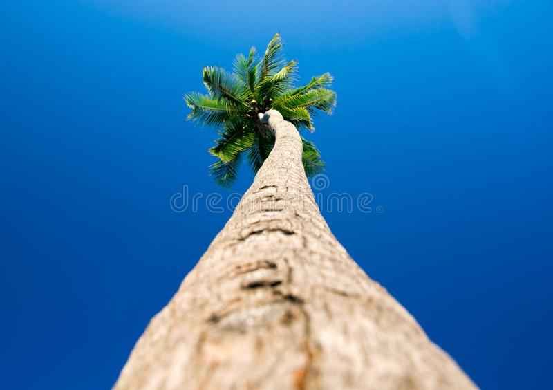 palm trees in the blue sky royalty free stock photos