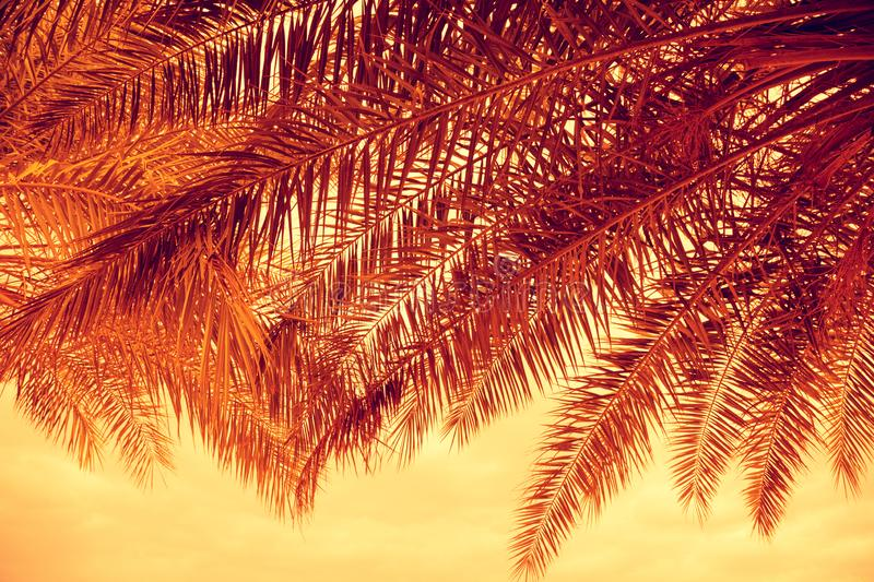 Palm trees branches at sunset royalty free stock photo