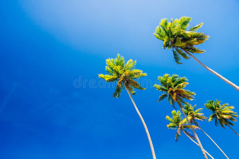 Palm trees on clear blue summer sky royalty free stock photography