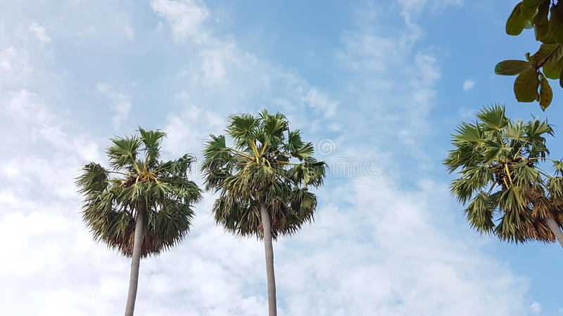 Palm trees with cloudy in fresh blue sky in a noon. View stock images