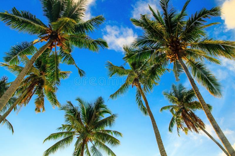 Palm trees coconut from bottom view. Summer vacations , Sunlight shine to palm trees coconut from bottom view. The colorful scene to relaxing and happiness stock photography