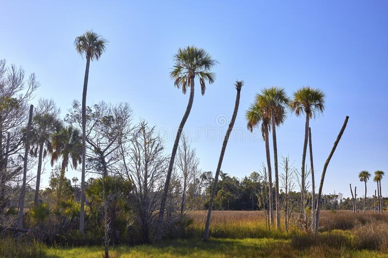 Palm Trees in Crystal River, Florida royalty free stock images