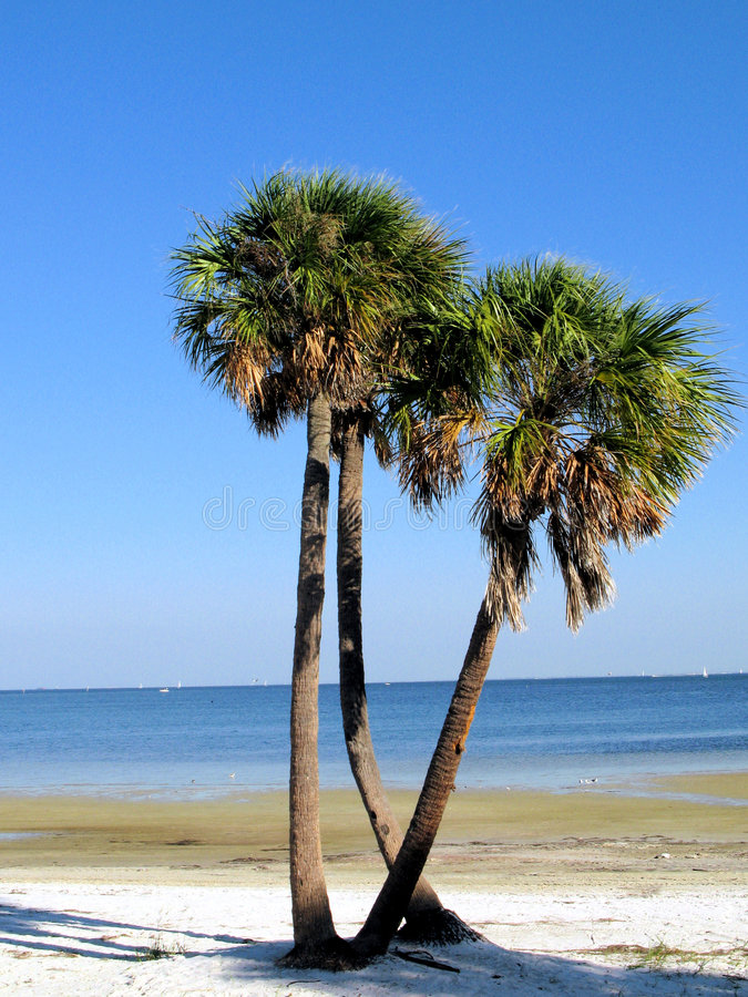 Palm trees on Florida beach royalty free stock images