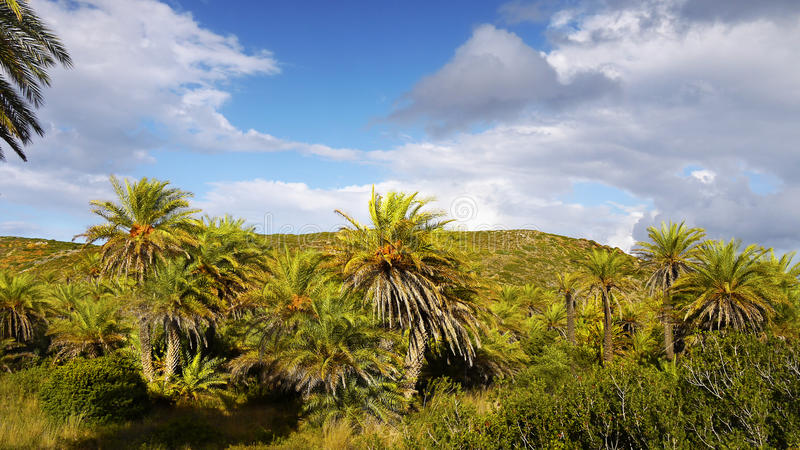 Palm Trees Forest Vai Crete royalty free stock photo