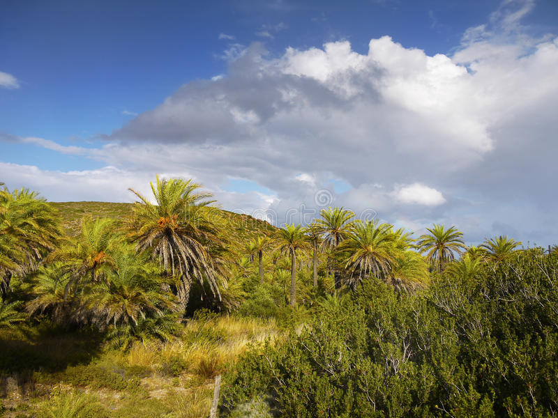 Palm Trees Forest Vai Crete royalty free stock images