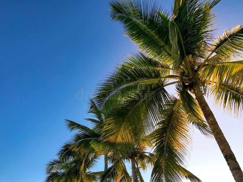 Palm trees in front of blue sky in sunshine stock image