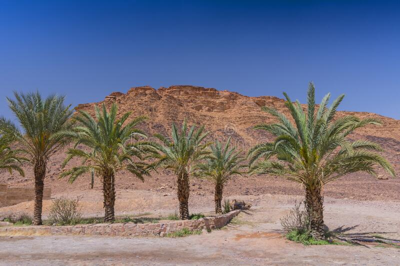 Palm trees in front of Wadi Rum visitor center, Jordan.  stock image