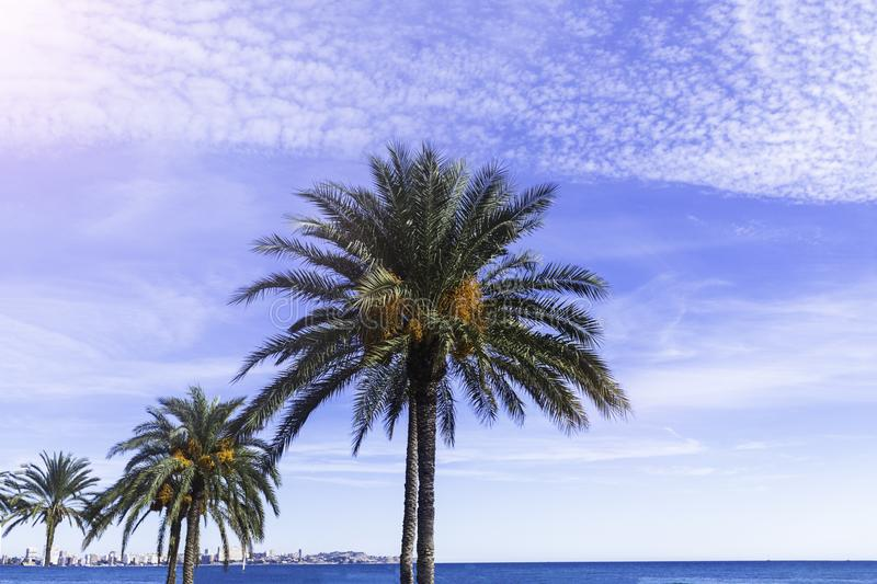 Palm trees with fruits against the sky with clouds.  royalty free stock photo