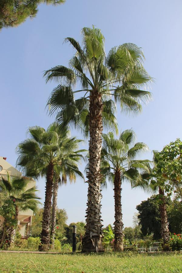 palm trees giants in the midday heat. landscape design royalty free stock photos