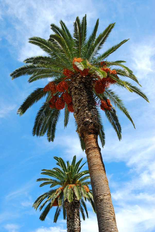Palm trees, greece. Palm trees from greece, city of nafplio royalty free stock photography
