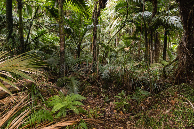 Palm trees growing in tropical rainforest. In New Zealand stock images