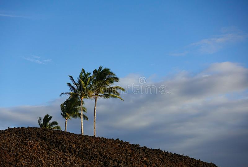 Palm Trees growing in volcanic rock stock photo