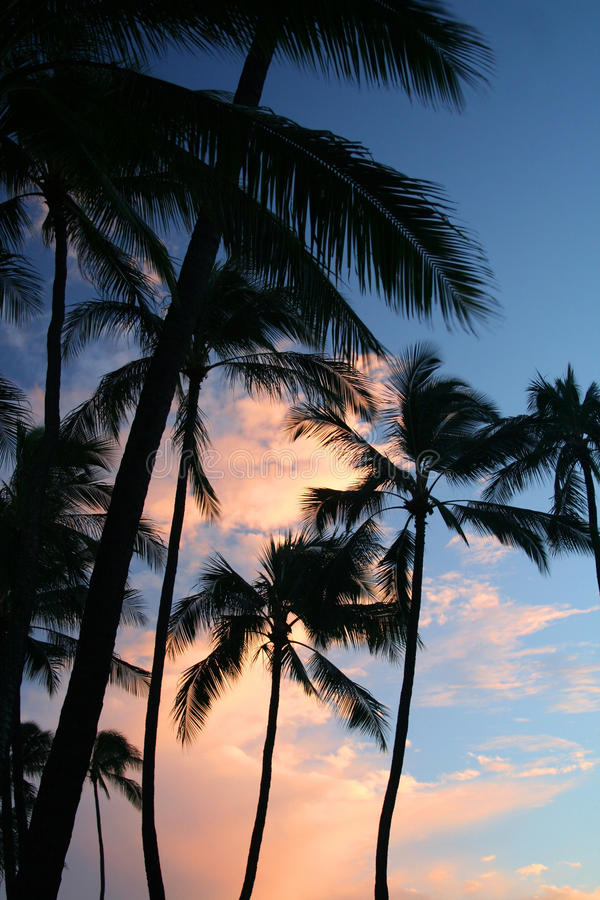 Download Palm trees in Hawaii stock photo. Image of silhouetted - 10669328