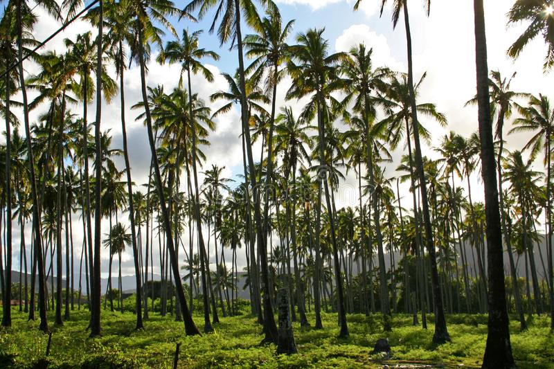 Palm Trees In Hawaii stock photography