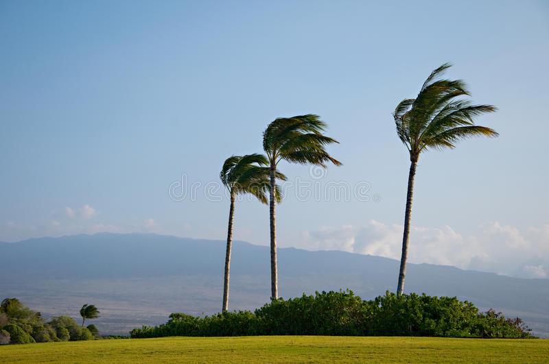 Palm Trees High Winds. Palm trees blowing in strong wind, hurricane wind, trade winds, Hawaii island winds, storm. Blue sky, puffy clouds and green grass stock photography