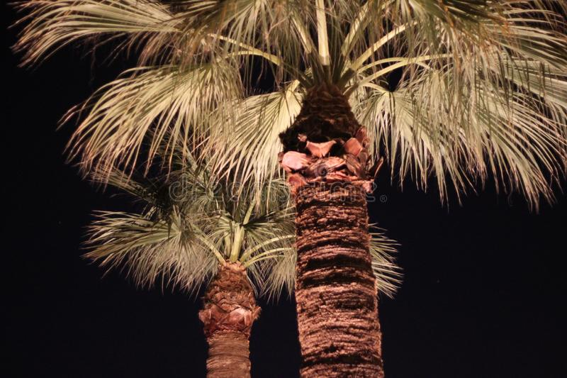 Palm trees illuminated 5722. Looking up at two tall skinny illuminated palm trees royalty free stock photo