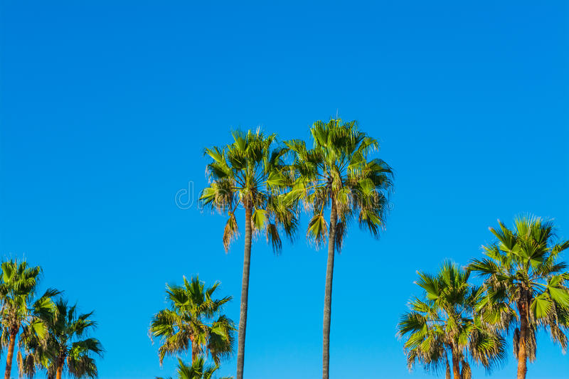 Palm trees in L.A. California royalty free stock images