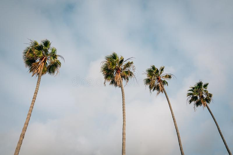 Palm trees in La Jolla Shores, San Diego, California stock photography