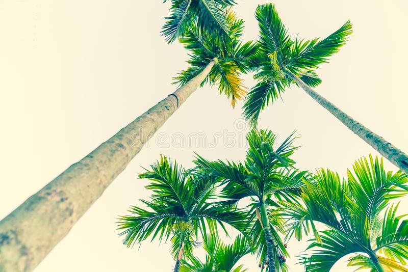 Palm trees from low point of view taowering overhead. Vintage effect image palm trees from low point of view on light sky background towering skyward overhead royalty free stock photos