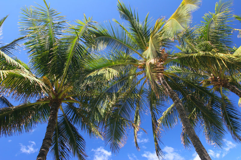 Palm Trees in Maui royalty free stock photos