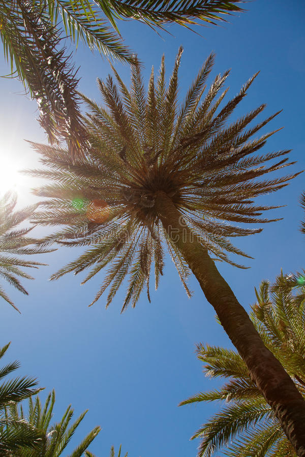 Download Palm trees over blue sky stock photo. Image of palm, outdoors - 32307856