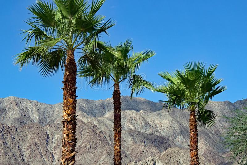 Palm trees at Palm Springs California. Three palm trees with rocks in the background at Palm Springs California royalty free stock images