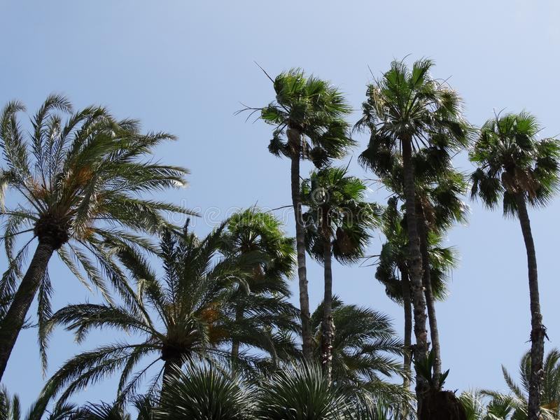 Palm trees. Blowing in the wind and blue sky stock photo