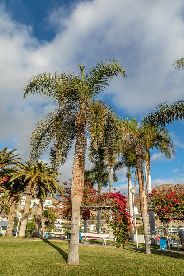 Palm trees in park in the city. Puerto Rico, Gran Canaria in Spain stock images