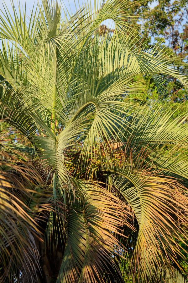 Palm trees in a park stock images